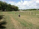 Boys chasing goats