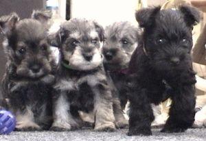 miniature-schnauzer-puppy